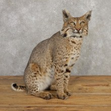 Bobcat Life-Size Mount For Sale #20318 @ The Taxidermy Store