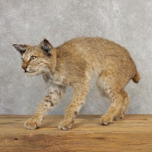Bobcat Life-Size Mount For Sale #21120 @ The Taxidermy Store