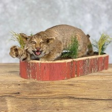 Bobcat Life-Size Mount For Sale #21402 @ The Taxidermy Store