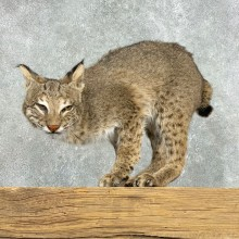 Bobcat Life-Size Mount For Sale #22305 @ The Taxidermy Store
