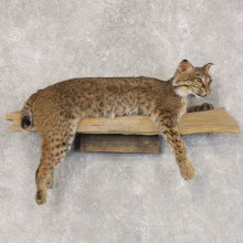 Bobcat Life-Size Mount For Sale #22589 @ The Taxidermy Store