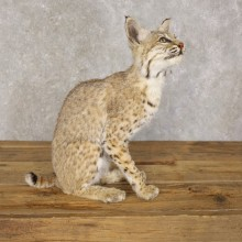 Bobcat Life-Size Mount For Sale #22591 @ The Taxidermy Store