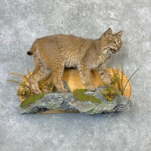 Bobcat Life-Size Mount For Sale #23262 @ The Taxidermy Store