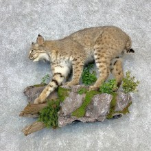 Bobcat Life-Size Mount For Sale #23291 @ The Taxidermy Store