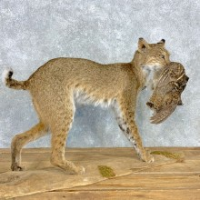 Bobcat Life-Size Mount For Sale #23309 @ The Taxidermy Store