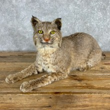 Bobcat Life-Size Mount For Sale #24162 @ The Taxidermy Store