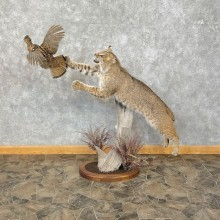 Bobcat Life-Size Mount For Sale #25288 @ The Taxidermy Store