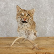 Bobcat Shoulder Mount For Sale #20379 @ The Taxidermy Store