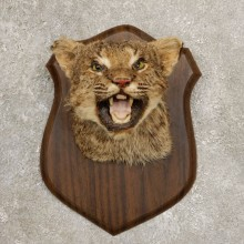 Bobcat Shoulder Mount For Sale #20541 @ The Taxidermy Store