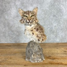 Bobcat Shoulder Pedestal Mount For Sale #22131 @ The Taxidermy Store