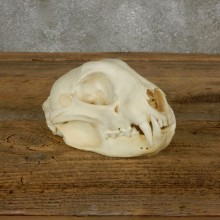 Bobcat Skull Mount For Sale #17491 @ The Taxidermy Store