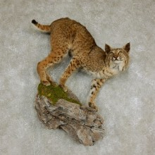 Bobcat Life-Size Mount For Sale #17970 @ The Taxidermy Store