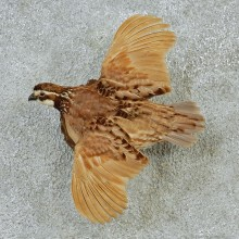 Flying Bobwhite Quail Taxidermy Mount #12701 For Sale @ The Taxidermy Store