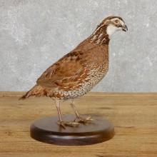 Bobwhite Quail Bird Mount For Sale #19793 @ The Taxidermy Store