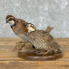 Bobwhite Quail Bird Mount For Sale #22330 @ The Taxidermy Store