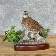 Bobwhite Quail Bird Mount For Sale #22930 @ The Taxidermy Store