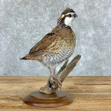 Bobwhite Quail Bird Mount For Sale #22966 @ The Taxidermy Store