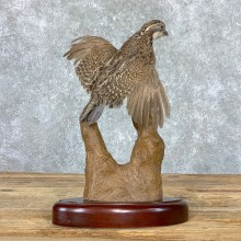 Bobwhite Quail Bird Mount For Sale #22969 @ The Taxidermy Store