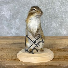 Bow Hunting Chipmunk Novelty Mount For Sale #23258 @ The Taxidermy Store