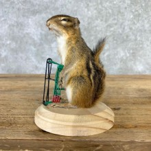 Bow Hunting Chipmunk Novelty Mount For Sale #23259 @ The Taxidermy Store