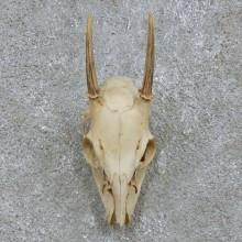 Brocket Deer Skull European Mount For Sale #15169 @ The Taxidermy Store