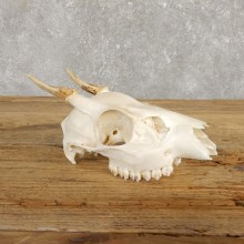 Brocket Deer Skull & Antler European Mount For Sale #19925 @ The Taxidermy Store