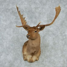 Brown Fallow Shoulder Taxidermy Head Mount #12843 For Sale @ The Taxidermy Store