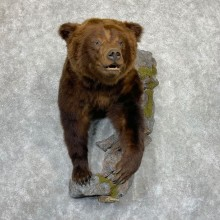 Brown Bear Half Life-Size Taxidermy Mount For Sale