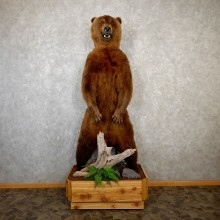 Brown Bear Life-Size Mount For Sale #19573 @ The Taxidermy Store