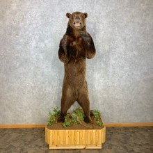 Brown Bear Life-Size Mount For Sale #23303 @ The Taxidermy Store