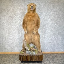Brown Bear Life-Size Taxidermy Mount For Sale