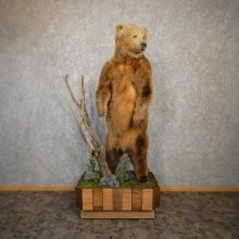 Brown Bear Life-Size Mount For Sale #20204 @ The Taxidermy Store
