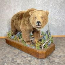 Kodiak Brown Bear Life-size Taxidermy Mount For Sale