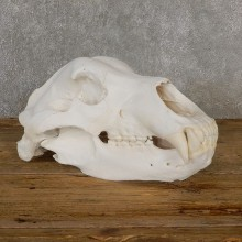 Brown Bear Skull Mount For Sale #19267 @ The Taxidermy Store