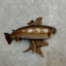Brown Trout Fish Mount For Sale #17782 @ The Taxidermy Store