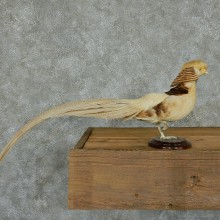 Buff Pheasant Life-Size Taxidermy Mount #13121 For Sale @ The Taxidermy Store