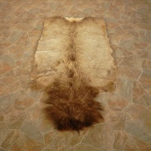 Bull Elk Hide Mount For Sale #14896 @ The Taxidermy Store