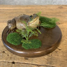 Bullfrog Taxidermy Mount For Sale #21361 @ The Taxidermy Store