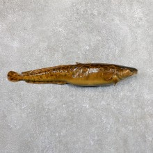 Burbot Fish Mount For Sale 19674 @The Taxidermy Store