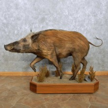 African Bushpig Life-Size Mount For Sale #15126 @ The Taxidermy Store