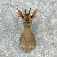 Bush Duiker Shoulder Mount For Sale #23293 @ The Taxidermy Store