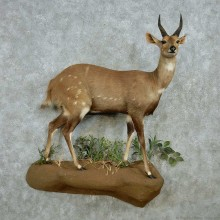 Cape Bushbuck Life Size Mount #13539 For Sale @ The Taxidermy Store