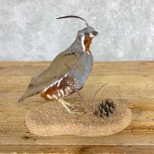 Mountain Quail Bird Mount For Sale #21763 @ The Taxidermy Store