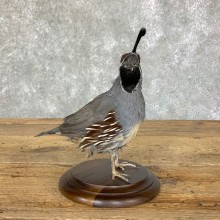 California Quail Bird Mount For Sale #22716 @ The Taxidermy Store
