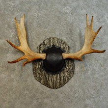 Eastern Canadian Moose Antler Plaque For Sale #16532 @ The Taxidermy Store