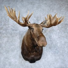 Western Canada Moose Shoulder Mount For Sale #15926 @ The Taxidermy Store