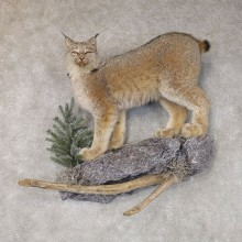 Canadian Lynx Life-Size Mount For Sale #22579 @ The Taxidermy Store