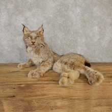 Canadian Lynx Life-Size Taxidermy Mount For Sale #20118 @ The Taxidermy Store