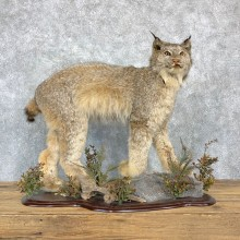 Canadian Lynx Life-Size Taxidermy Mount For Sale #23179 @ The Taxidermy Store