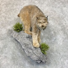 Canadian Lynx Life Size Taxidermy Mount For Sale